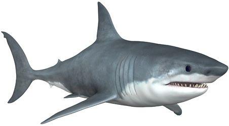 Bijeli morski pas