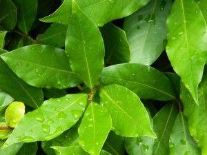 bobkový list alergiemi