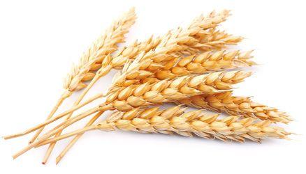 Pšenica